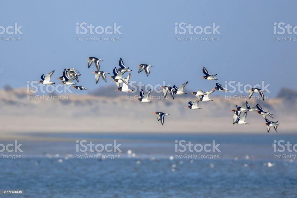 Flock of Pied Ostercatcher stock photo