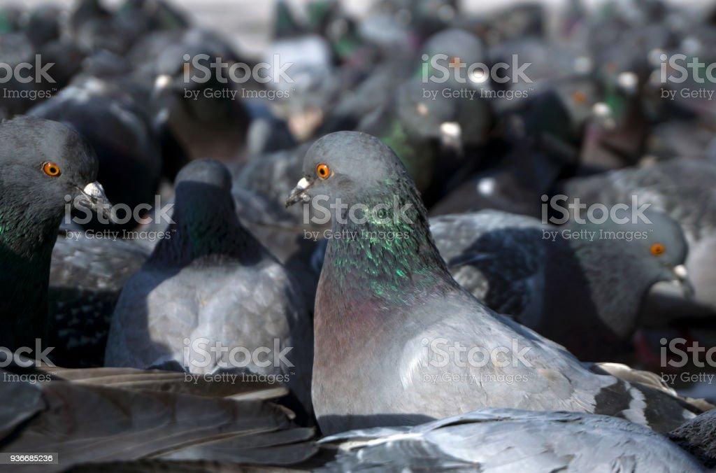 flock of pigeons closeup stock photo
