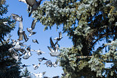 frightened flock of pigeons in the coniferous forest