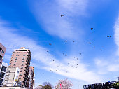 Flock of Pigeons Flying in The Sky in Tokyo