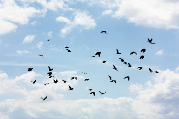 flock of pigeons flying stock photo