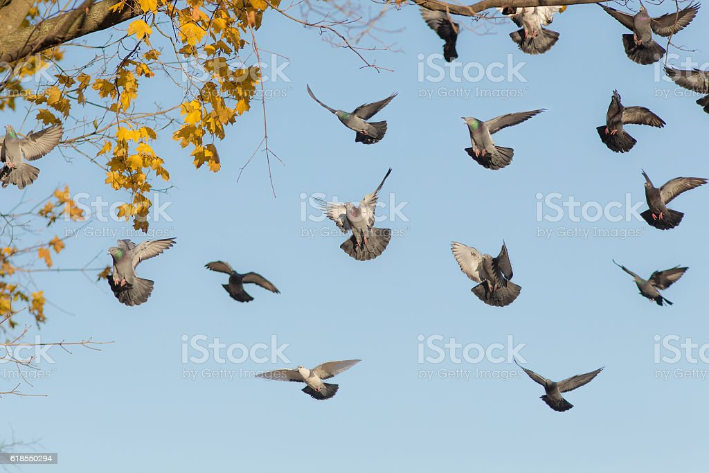 flock of pigeons in flight stock photo