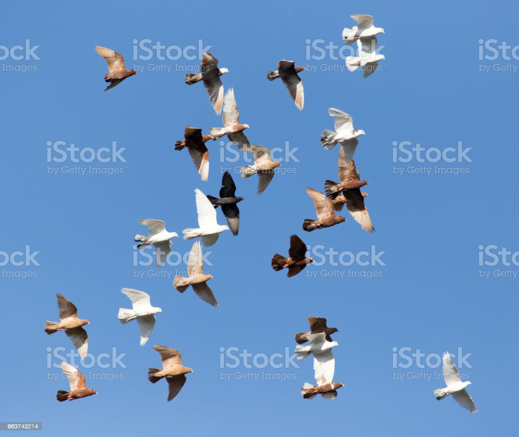 flock of pigeons on blue sky stock photo