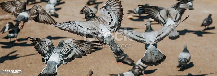 Flock of pigeons on the sidewalk