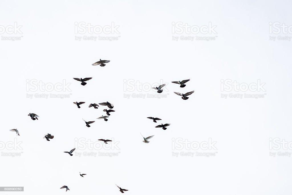 Flock of pigeons stock photo