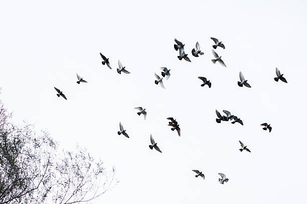 Flock of pigeons picture id500590836?b=1&k=6&m=500590836&s=612x612&w=0&h=t6bragb9ddu hbamsftmi ugvnvxv1s8xg8x7mqyjvm=
