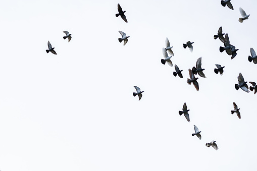 Flock of pigeons flying in the blue sky