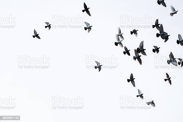 Flock of pigeons picture id500591142?b=1&k=6&m=500591142&s=612x612&h=q5jdbvgic girwh9hpqdf31 wpwe8f7nkt9y4rhdjfs=