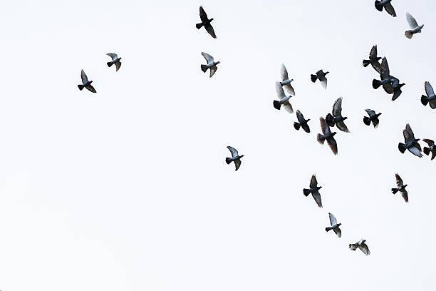 flock of pigeons - monochrome stock photos and pictures
