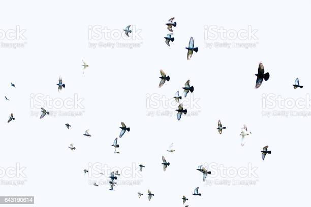 Flock of pigeons picture id643190614?b=1&k=6&m=643190614&s=612x612&h=o1dn2mda69zrdihb9jiye9yrk8xoktmjk3lorgs tfk=