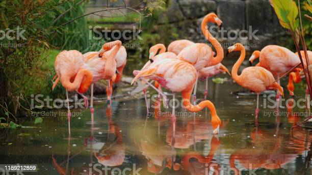 A flock of pink flamingos grazing in the water.