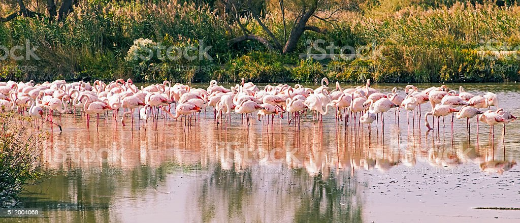 Flock of pink flamingos resting in Carmargue wetland stock photo