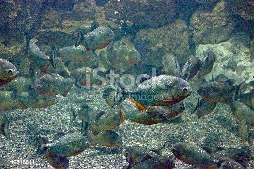 A flock of piranha fish