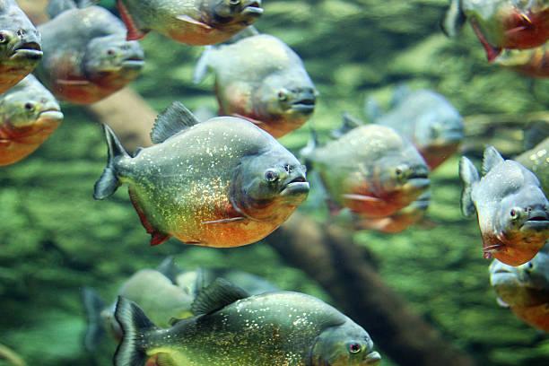 stado z piranhas swim dzikiej przyrody - pirania zdjęcia i obrazy z banku zdjęć