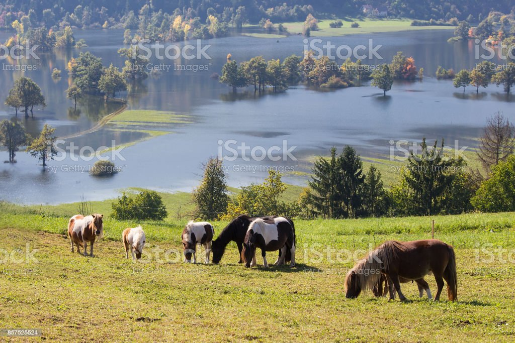 Flock of Ponies on Meadow over Lake, Planinsko polje, Slovenia - Royalty-free Agricultural Field Stock Photo