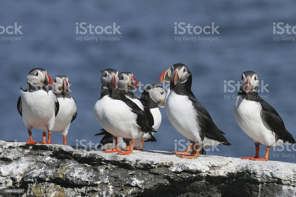 Flock of puffins stand on a rock, Iceland royalty-free stock photo