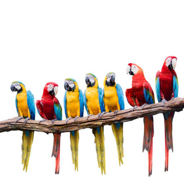 flock of red and blue yellow macaw purching on dry tree branch isolated white background flock of red and blue yellow macaw purching on dry tree branch isolated white background animal family stock pictures, royalty-free photos & images
