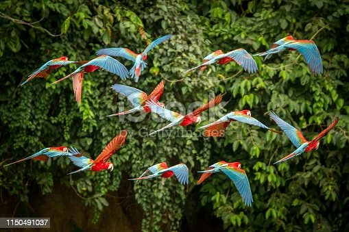 istock Flock of red parrot in flight. Macaw flying, green vegetation in background. Red and green Macaw in tropical forest, Peru, Wildlife scene from tropical nature. Beautiful bird in the forest. 1150491037