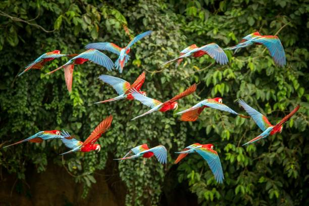 Flock of red parrot in flight. Macaw flying, green vegetation in background. Red and green Macaw in tropical forest, Peru, Wildlife scene from tropical nature. Beautiful bird in the forest. Flock of red parrot in flight. Macaw flying, green vegetation in background. Red and green Macaw in tropical forest, Peru, Wildlife scene from tropical nature. Beautiful bird in the forest. amazon rainforest stock pictures, royalty-free photos & images