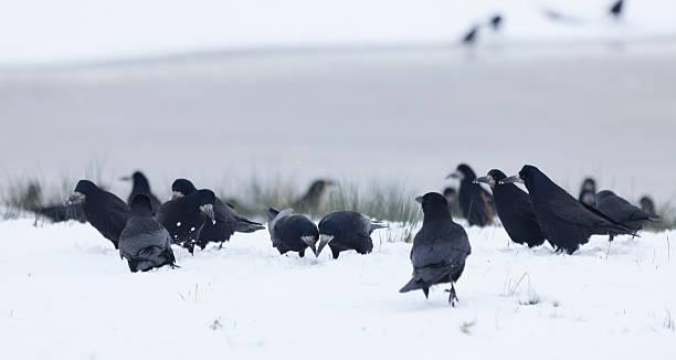 flock of rooks, corvus frugilegus, futter suchen im schnee, schottland, uk - saatkrähe stock-fotos und bilder