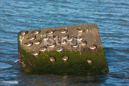 flock of ruddy turnstone Arenaria interpres resting on large stone in the water on the Dutch coast near Hoek van Holland
