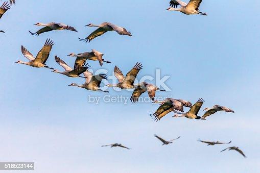 istock Flock of Sandhill Cranes, California, USA 518523144