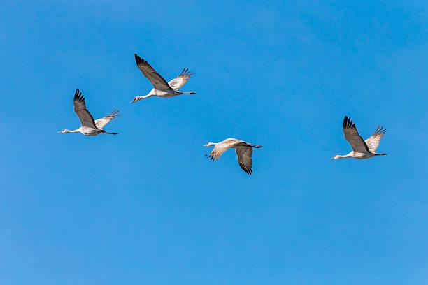 Flock of Sandhill Cranes Flying, California, USA stock photo