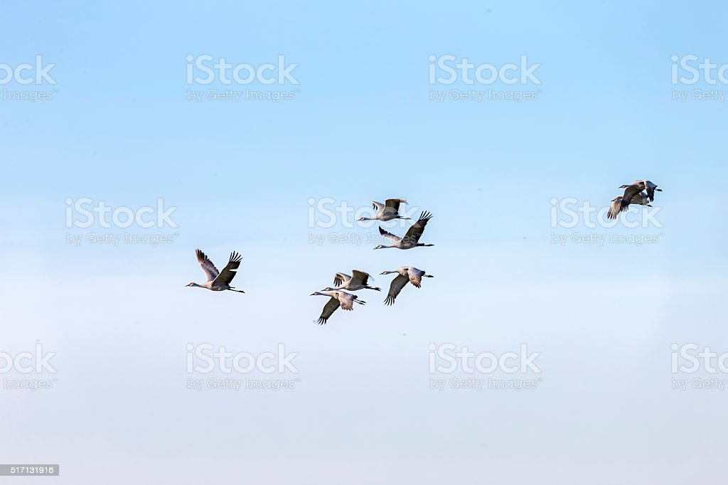 Flock of Sandhill Cranes flying, . 600mm lens. Canon 1Dx.