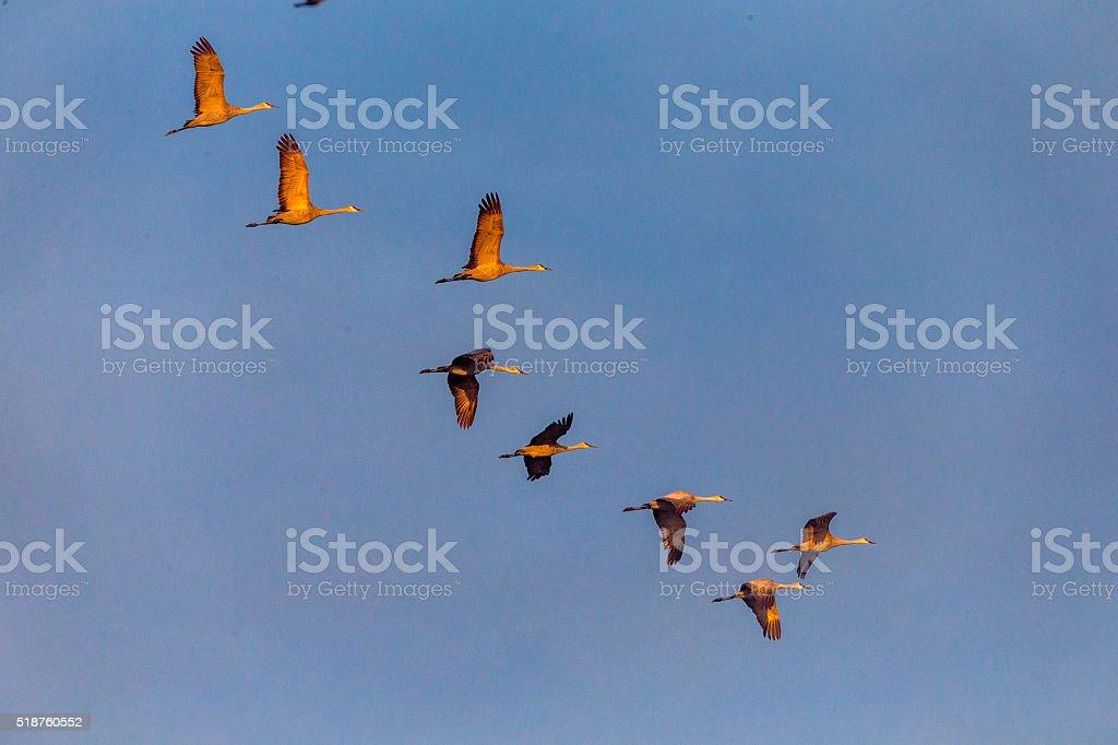 Flock of Sandhill Cranes flying in winter time. 600mm lens. Canon 1Dx.