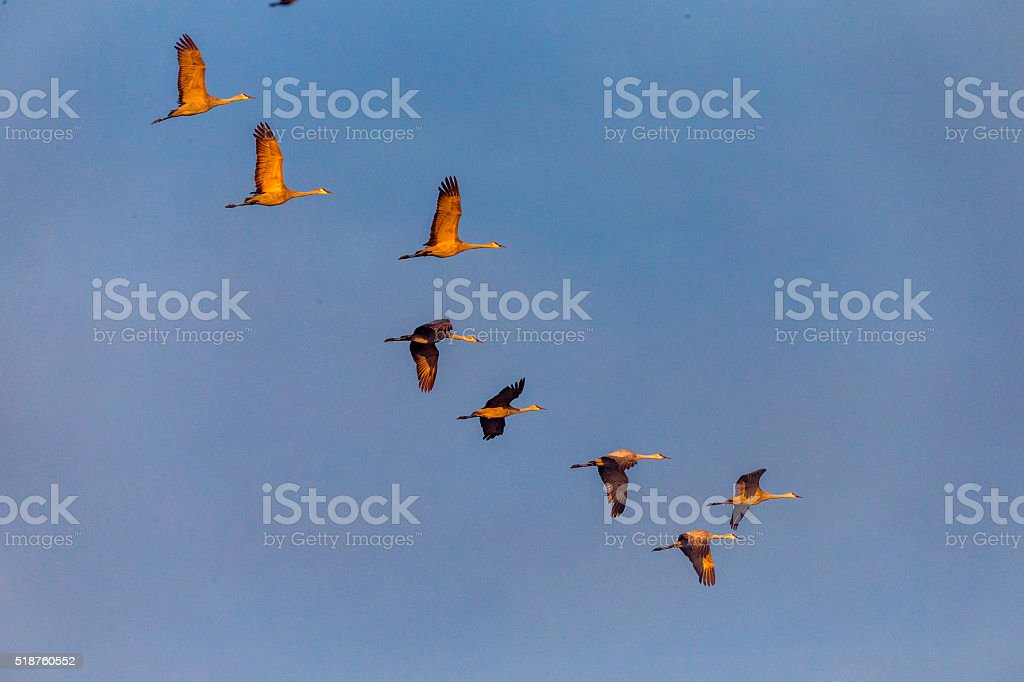 Flock of Sandhill Cranes flying, California, USA stock photo