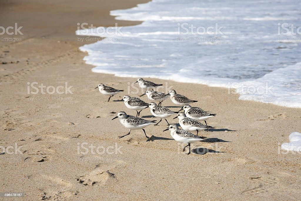 Flock of Sandpipers stock photo