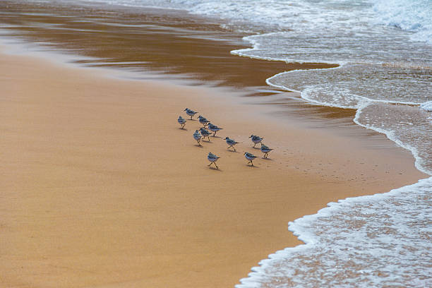 flock of sandpipers (scolopacidae) search for food on beach, portugal - 도요과 뉴스 사진 이미지