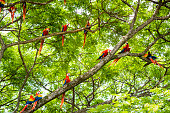 A flock of scarlet macaws, Ara macao, in a tree living in the wild.  Taken in Guanacaste, Costa Rica