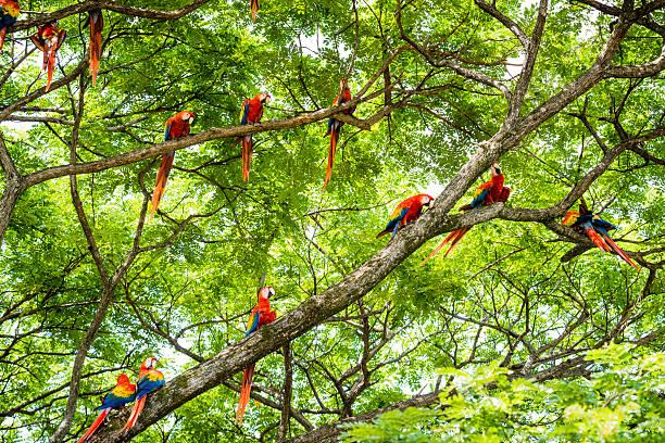XXXL: Flock of scarlet macaws in the wild stock photo