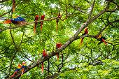 A flock of wild scarlet macaws, Ara macao, in a tree.  Taken in Guanacaste, Costa Rica