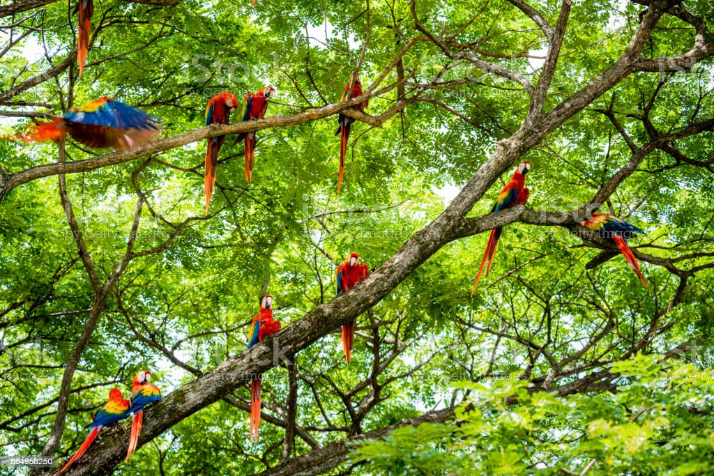 Flock of scarlet macaws in the wild stock photo