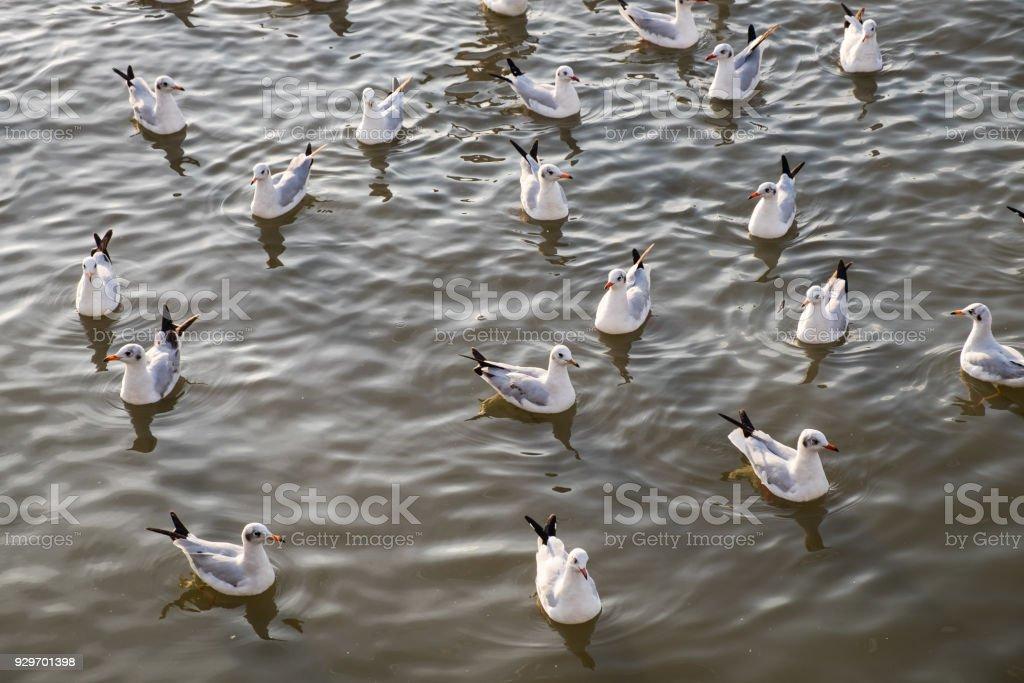 Flock of seagull floating on sea stock photo