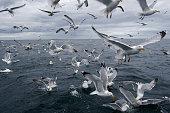 flock of seagull (Larus argentatus)