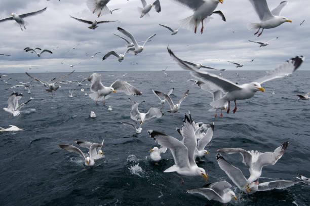flock of seagull (larus argentatus) - uccello marino foto e immagini stock