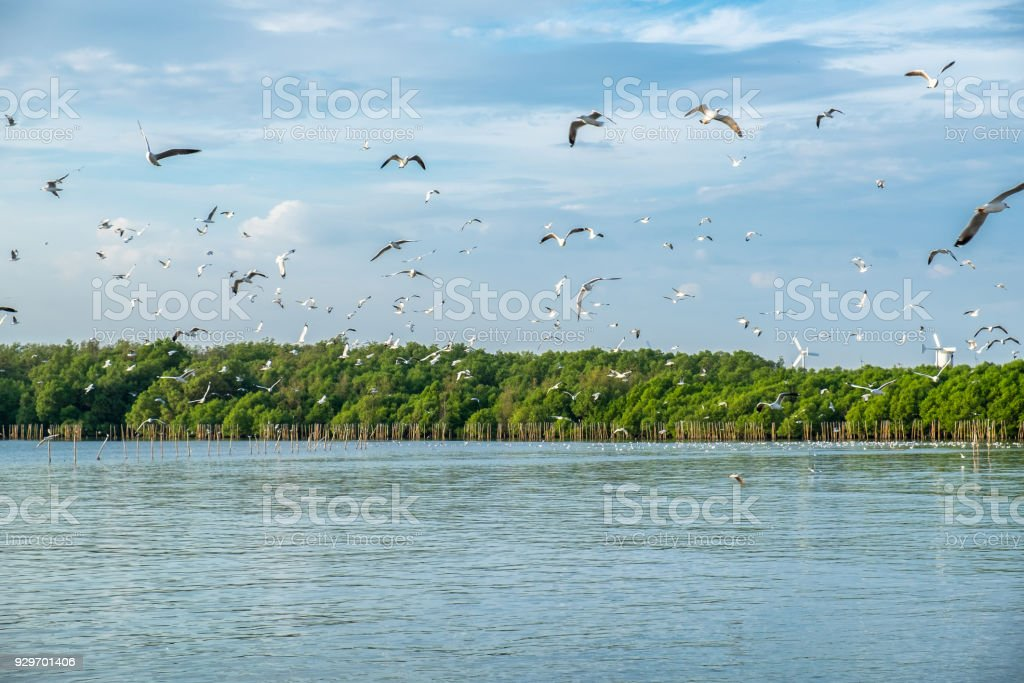 Flock of seagulls emigrate flying in mangrove forest at gulf of thailand stock photo