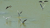 A flock of seagulls flies over the water in various poses.