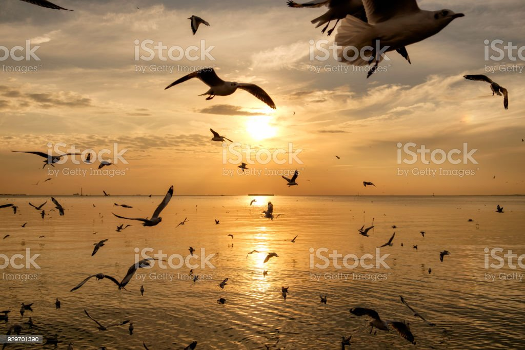 Flock of seagulls flying on sea gulf of thailand at evening stock photo