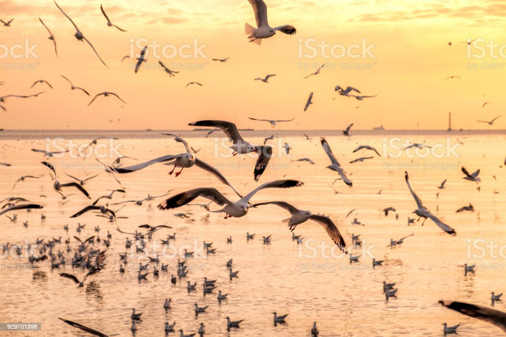 Flock of seagulls flying on sea gulf of thailand stock photo