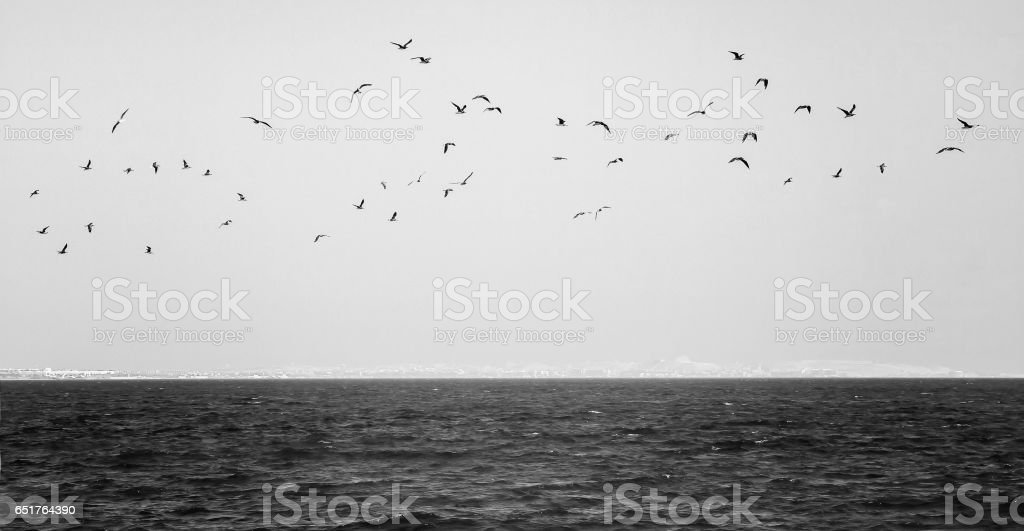 flock of seagulls flying over the sea in black and white stock photo