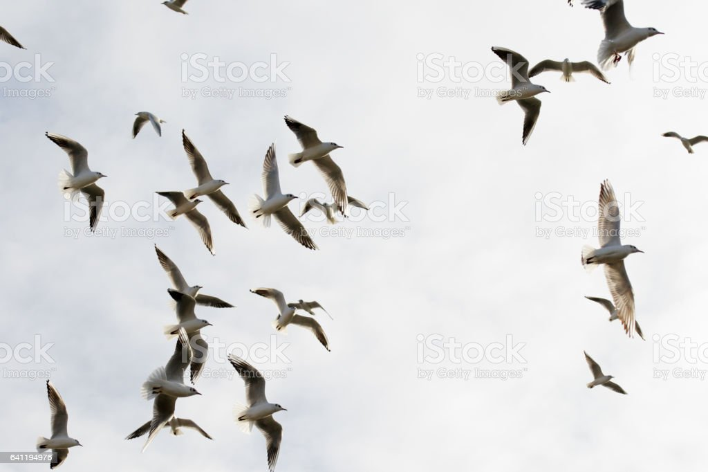 Flock Of Seagulls Flying Overhead Royalty Free Stock Photo
