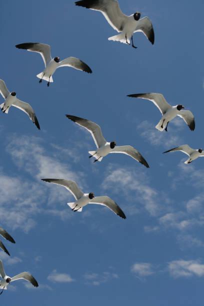 Flock of Seagulls in Flight stock photo