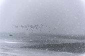 istock Flock of seagulls on a snow storm along beach 1226420343