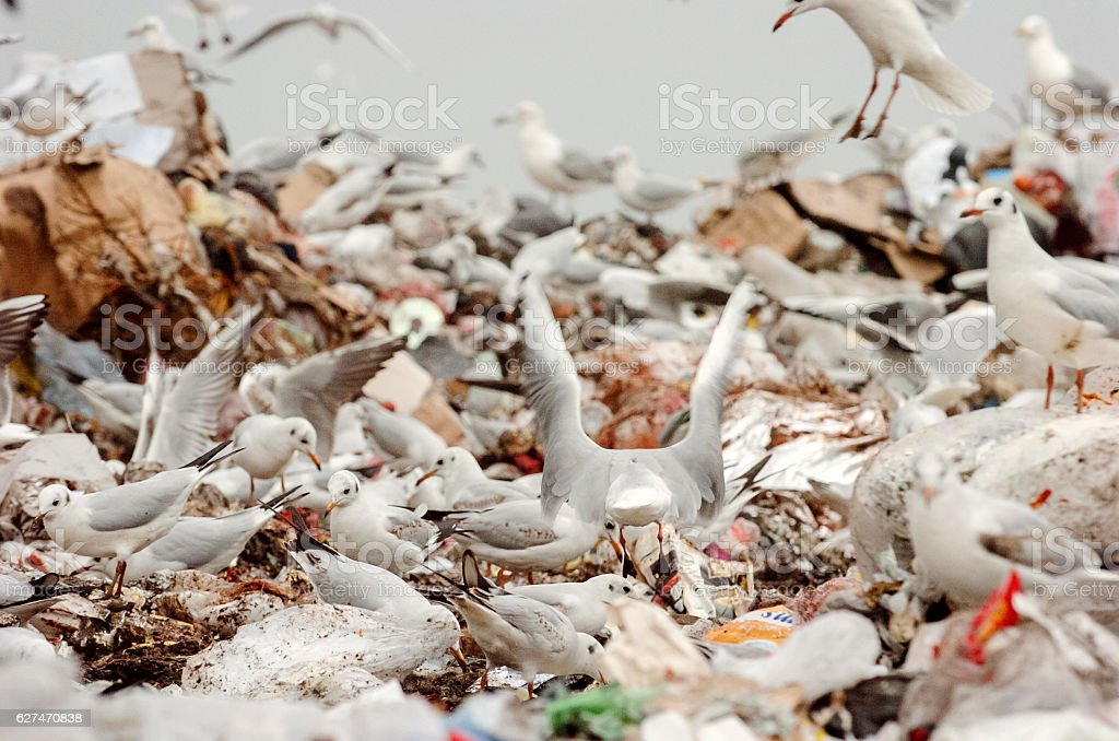 Flock of seagulls picking through trash on a landfill stock photo