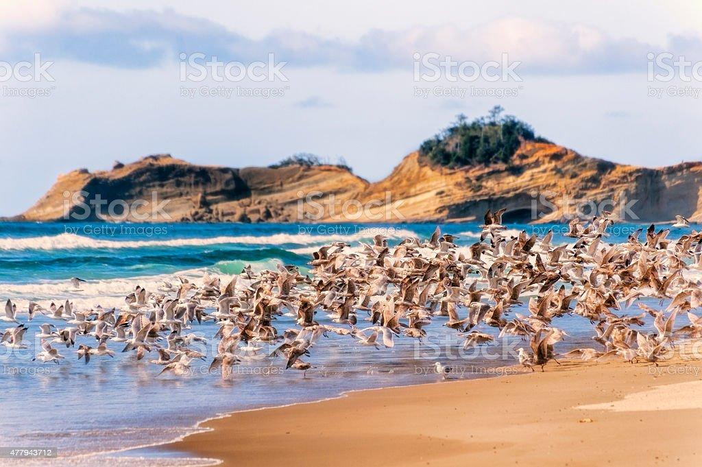 Flock of Seagulls Taking Flight on Oregon Beach stock photo