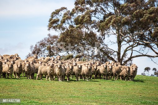 A flock of sheep stand at attention on a beautiful green grass paddock in early spring